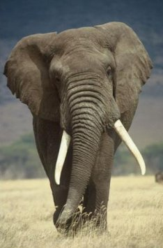 Elephant Sends SMS To Alert Rangers