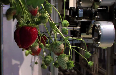 New Strawberry-picking Robot From Japan